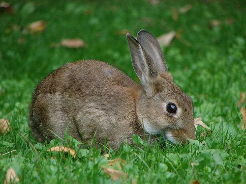 Rabbit Ralicivirus