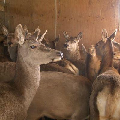 Deer Velvetting Season